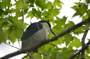 Black-crowned night-heron, photo © Jeanne Tao